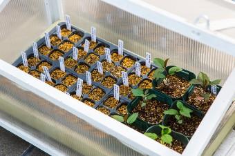 サンルームで種から育苗しているトマト。様々な品種をプロ並みの管理で育てる。