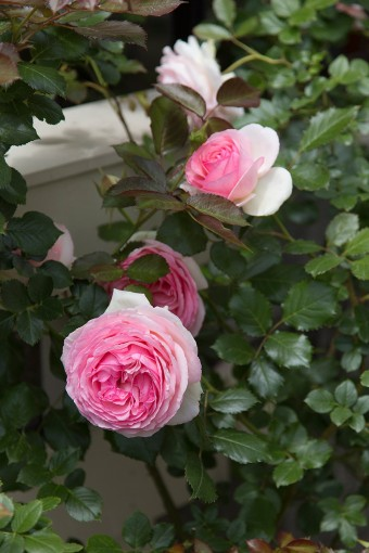 ピエール・ドゥ・ロンサールなど、育てるバラの種類も豊富。
