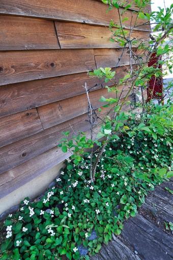 パン屋さんの壁際のブルーベリーの木。