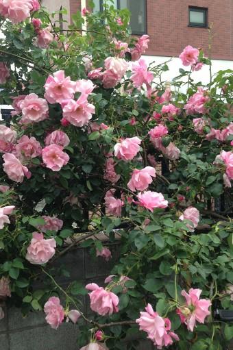5月の満開時のバラ(写真=中村さん提供)。