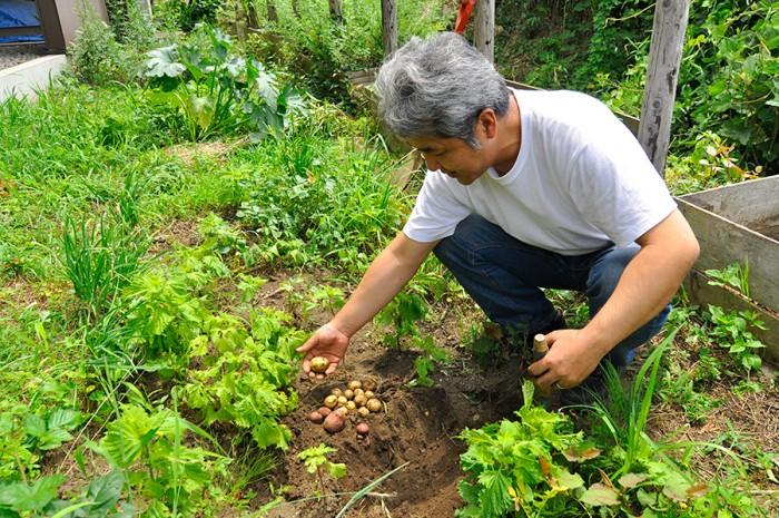 敷地内の畑でつくったジャガイモを掘る一雄さん。この畑にはシソやハーブなど、いろいろな作物が植わっている。