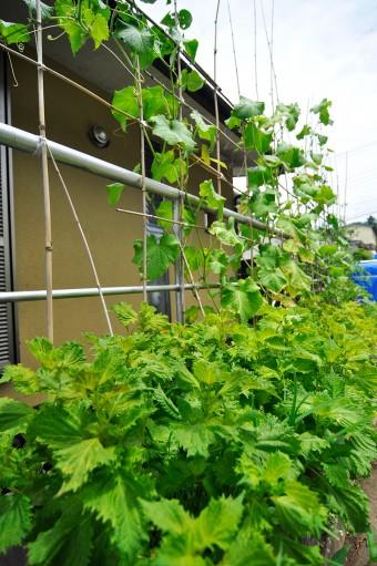 ウッドデッキの横では、コンテナで夏野菜を栽培。この支柱の竹も裏手の竹やぶでとれたもの。