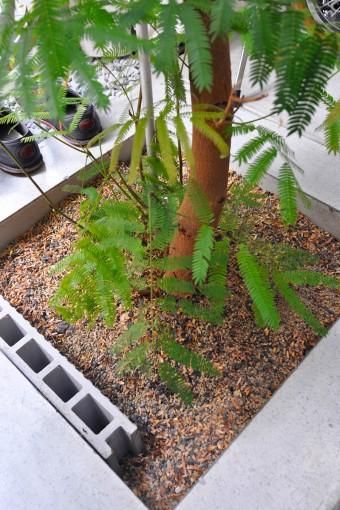 半屋外という設定で設計された事務所部分の床を一部開けて敷地に直接植えられたエバーフレッシュの木。
