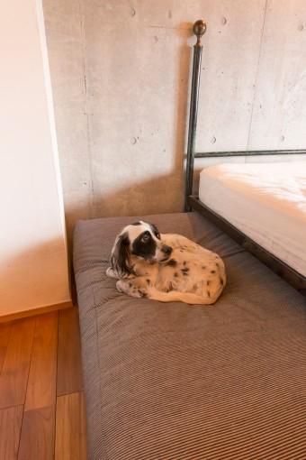 ベッド横は、イングリッシュセッターのひまわりの寝床。