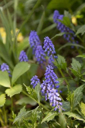 ムスカリなど色とりどりの花が咲き乱れる。