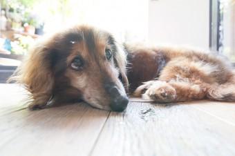 愛犬のミニチュアダックスのケイト。いつもテラスで昼寝を楽しむ長寿犬。