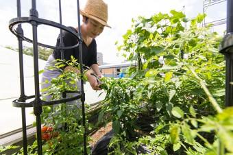 育てている野菜は、ナス、キュウリ、トマト、ミニトマト、シシトウ、ピーマン、モロヘイヤ。他に、たくさんのハーブも。