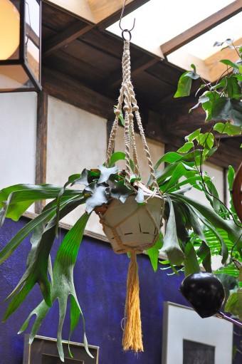 吊るして楽しむことができるコウモリラン。