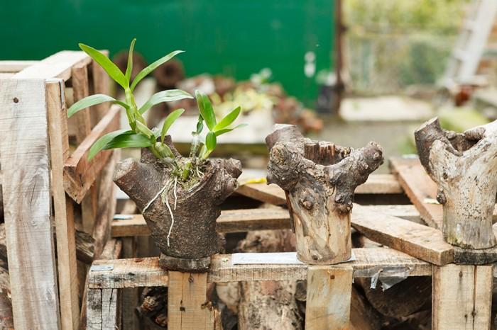ケヤキの枝の穴に、シンピジウムを着生させている(左)。右ふたつは、着生用に保管してあるケヤキの枝。