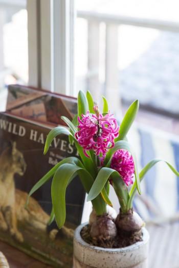 キレイなピンクが窓辺に春を運んでくれるヒヤシンス。土屋さんのお宅には、たくさんのグリーンやお花が飾られている。