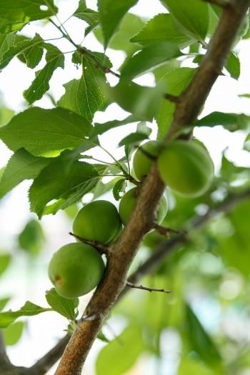 梅酒にする梅のほか、みかんや柚子などの果樹が毎年実る。