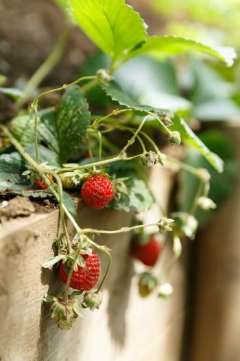 庭のイチゴ。ブルーベリーやラズベリーなども植えている。