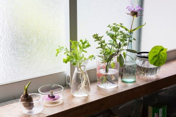シンク前の窓ではサトイモ、カブ、レタスなどを水耕栽培。