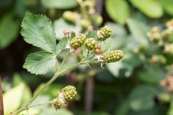 ブラックベリーなど実のなるものを中心に栽培。