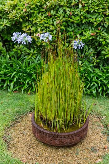 湿地を好むというトクサ。インドの鉢によく似合う。