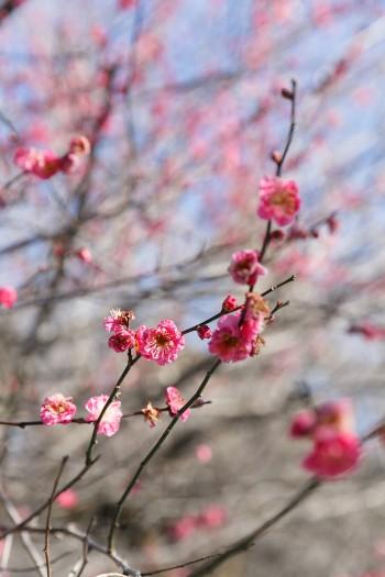 咲き始めの紅梅。鮮やかな色が美しい。