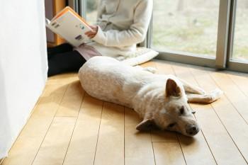 家族の一員である愛犬もリビングの窓辺が大好き。