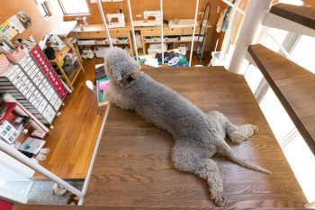 """ベドリントン・テリアのナンナくん(6歳半)。教室名の""""まんま""""にちなんで命名。""""番犬""""として定位置から目を光らせている。"""