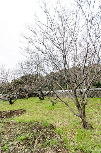 側面の傾斜地にはクリの木が何本も立つ。