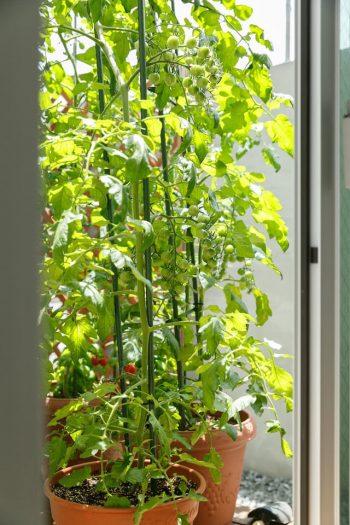 柊羽くんが大事に育てたミニトマトには、たくさんの実がついていた。