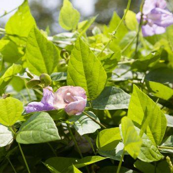緑のカーテンを作っているのは、スネイルフラワー(つる性スイトピー)。真夏にも涼しげな青紫の花を咲かせる。