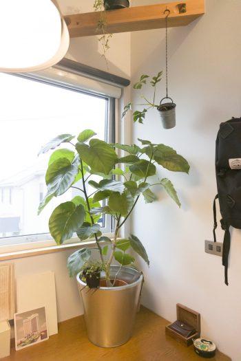 観葉植物の育成も楽しんでいる。窓辺にはフィカス・ウンベラータが。