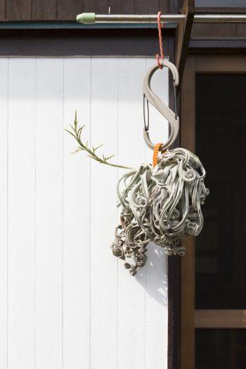 エアプランツを、アウトドア用のベルトやカラビナを使って吊っている。「環境が合っていたのか、花芽を伸ばし始めました」