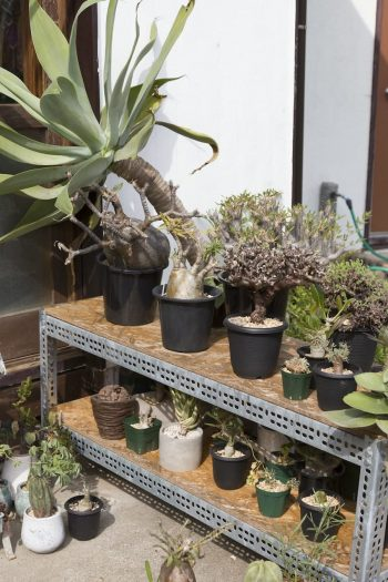アフリカ原産の珍奇植物を多数コレクション。「冬は部屋に入れなければなりませんが、どこに置くか今から頭を悩ませています」