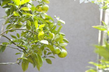 庭のミカンの木。取って食べることもあるそう。
