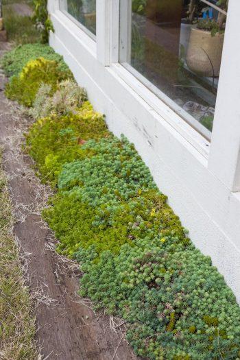 温室の壁際にはセダムが育つ。同じグリーンでも、種類によって色味が様々なのが楽しい。