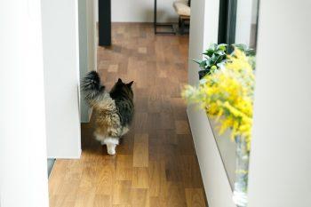 窓辺を彩るのは、朝市で買い求めたミモザ。その横をフサフサの尻尾を揺らして歩く愛猫トンガリの姿がなんとも愛らしい。