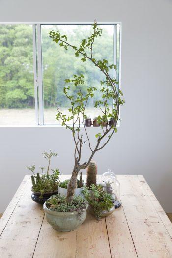 室内の多肉植物は実験的な意味あいも。猩々丸、ブルセラなど。