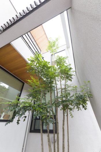 中庭に植えたシマネトリコは2階からも眺めることができる。目隠しの役目も。