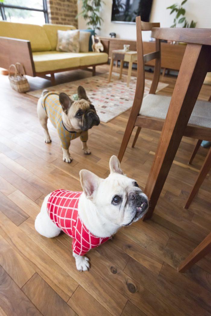 フレンチブルドッグのわさびちゃんと、かぶきくん。水谷さんがデザインするフレブルの洋服の店『blimp』のモデル犬。「フレンチブルドッグは特殊な体型なので他の犬種の服が合わず、ならば自分で作ろうと思ったのがスタートでした」