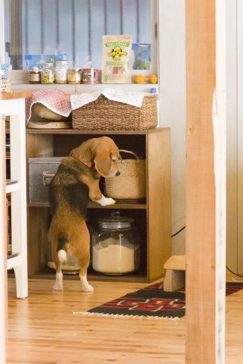 7歳になるビーグル犬のししまるくんが、キッチンの戸棚を物色中。