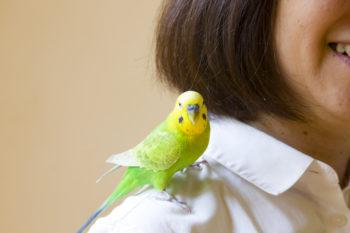 """肩のり&手のりのセキセイインコ、プルプルくん(7歳・オス)。鳥は""""パピプペポ""""が覚えやすいそうで、ピークの名前もパ行から考えた。山好きのお二人らしく、山の頂上を意味する名前に。プルプルくんも呼ぶのだそう。"""