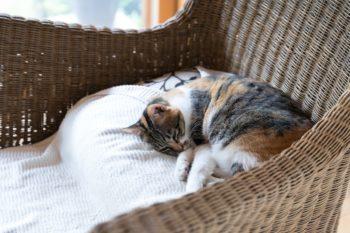 籐椅子で眠る猫。