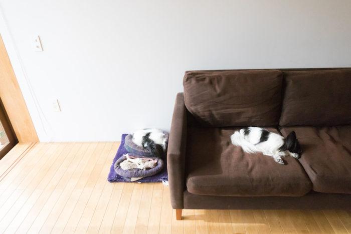 """犬用ベッドで寝ているのが先住犬のマコトちゃん(3歳、メス)。ソファの上で寝ているあいちゃん(同)は3か月遅れで家族に加わった。「2匹合わせて、""""愛と誠""""です。最近、知らない人も多くてね(笑)」(ご主人)"""