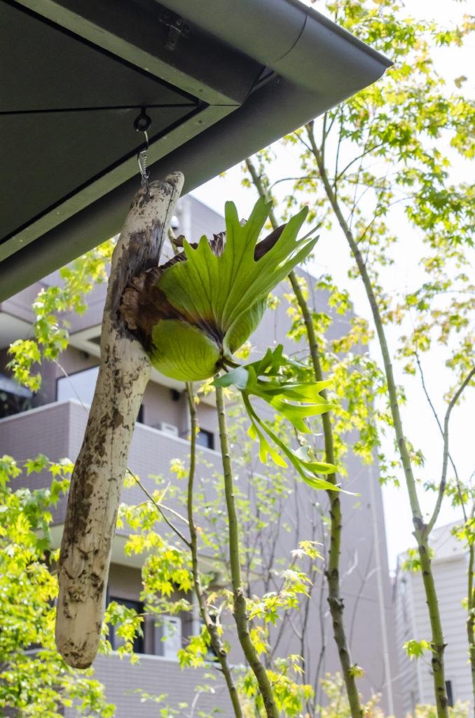 子世帯の軒下にはビカクシダが付けられた流木が吊り下がる。植物は息子さんが趣味で育てている。