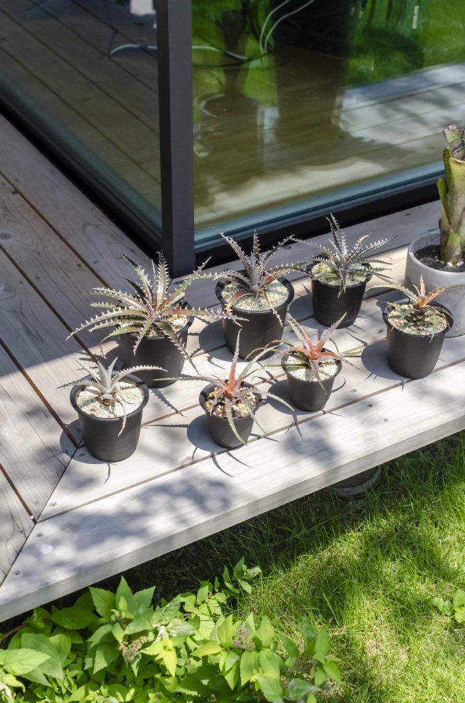 子世帯の縁側に鉢に植えられたディッキアが並ぶ。