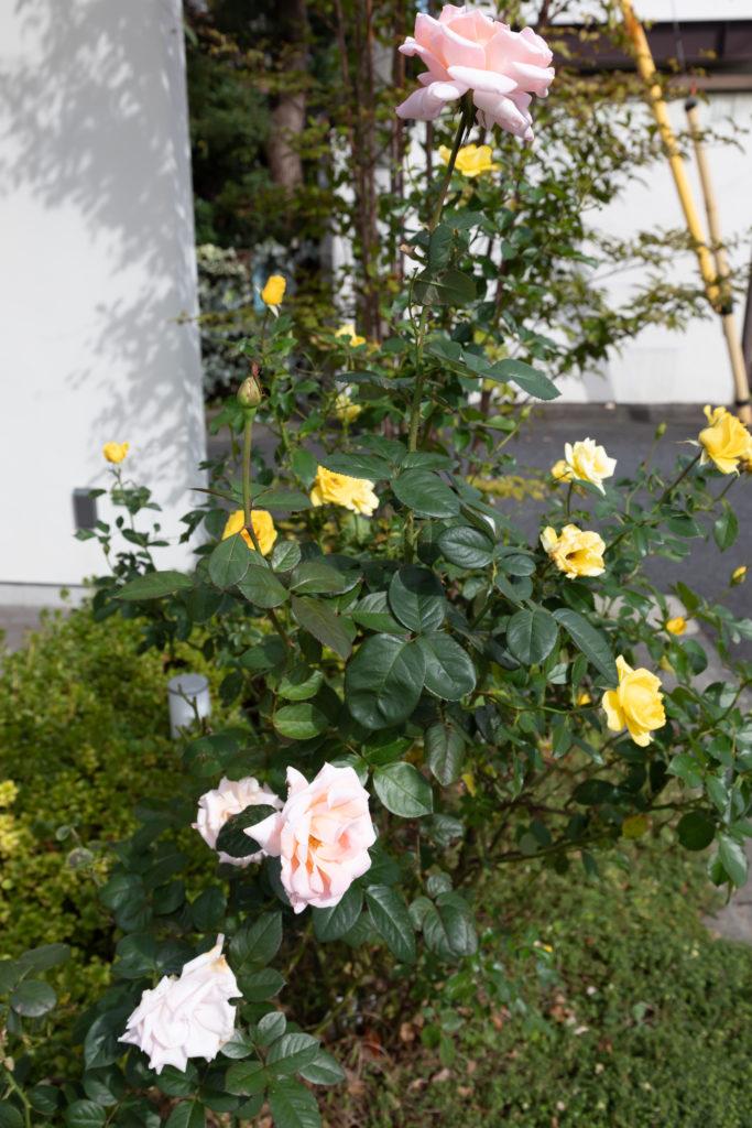 玄関前の三角スペース。妻が育てているバラがお出迎え。