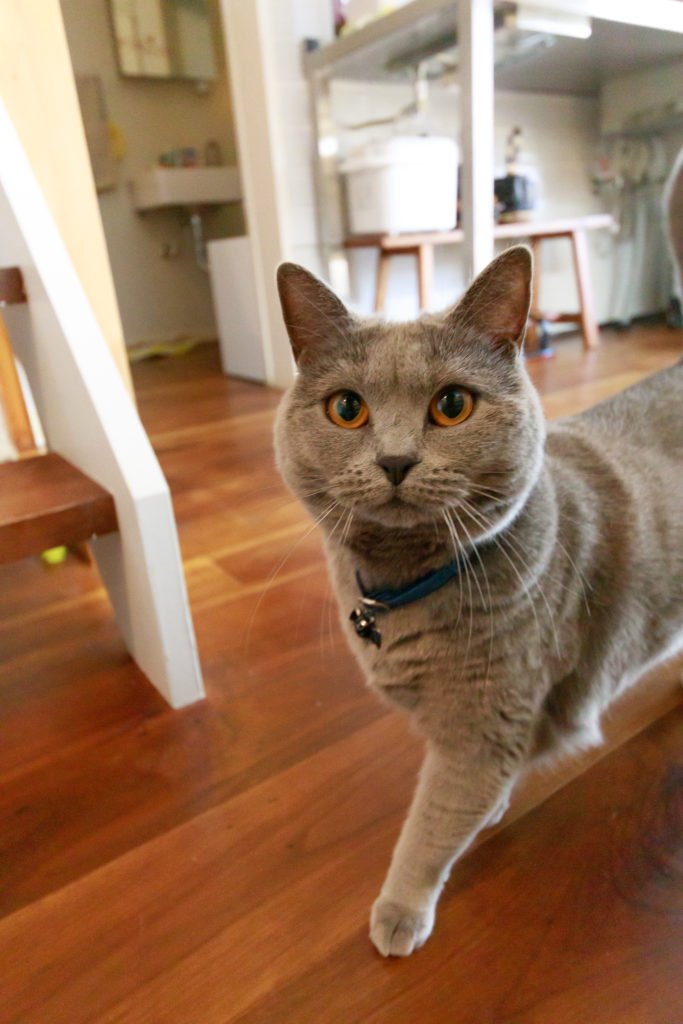 """人懐っこいシャルトリューのニビちゃん(メス、3歳)。グレーの毛並みが美しく、濃い灰色を表す""""鈍色(にびいろ)""""から命名。最近の在宅ワークにより、「猫の1日の生活パターンがわかりました」。"""