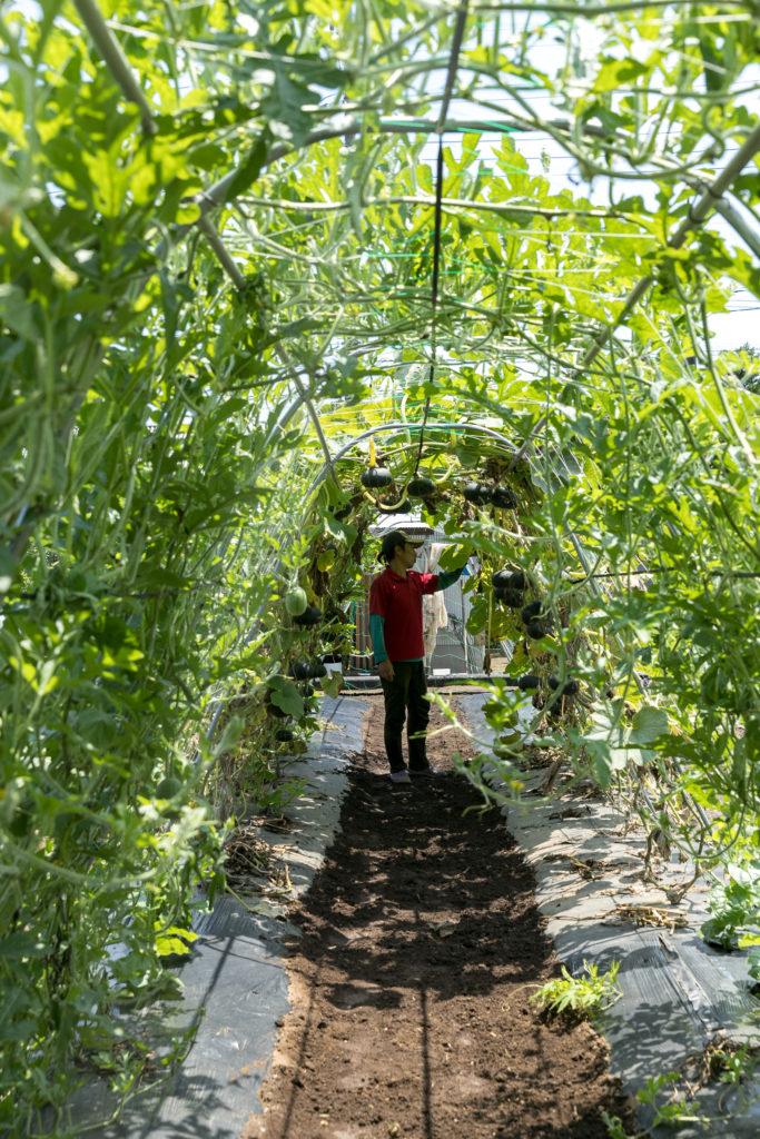 まるで緑のトンネルのような栽培スペースでは、かぼちゃやミニスイカなど、つる性の野菜を宙吊りにして育てている。