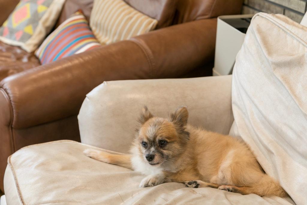 MIX犬のパンダちゃんはHALOのソファがお気に入り。フレンチブルのサイちゃん、ポメラニアンのコトラちゃんの3匹とともに暮らす。