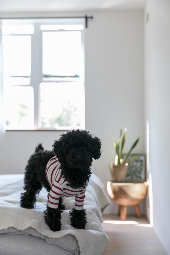 7ヶ月のトイプードルのKUUちゃんは近所の人気者。「リモートワークに移行したので家にいる時間が長くなり、犬を飼うことができました」