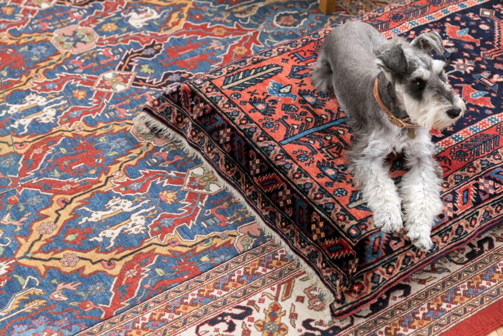 ミニチュアシュナウザーのティモくんはペルシャ絨毯のローソファがお気に入り。19世紀まで行われていた草木染と職人の手仕事を復活させたミーリー工房のペルシャ絨毯はほんとうに美しい。